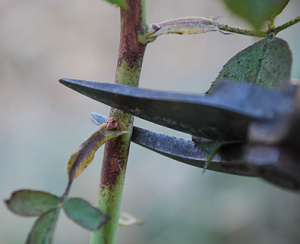 Pruning-roses-with-shears